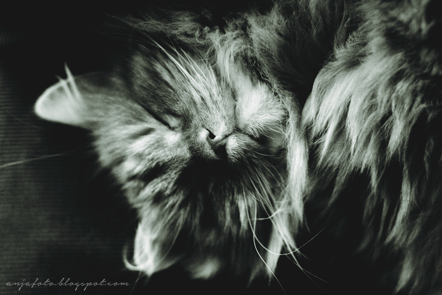 kot, koty, cat, cats, kot norweski leśny, fotografia kotów