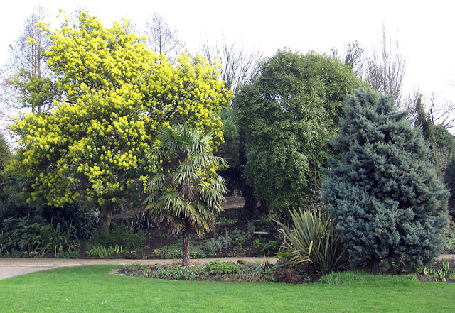 An Acacia tree flowering in Regent's Park at the beginning of March