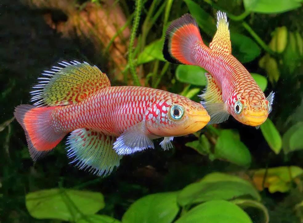 Akvaryum Killifishes balığı hakkında bilgi