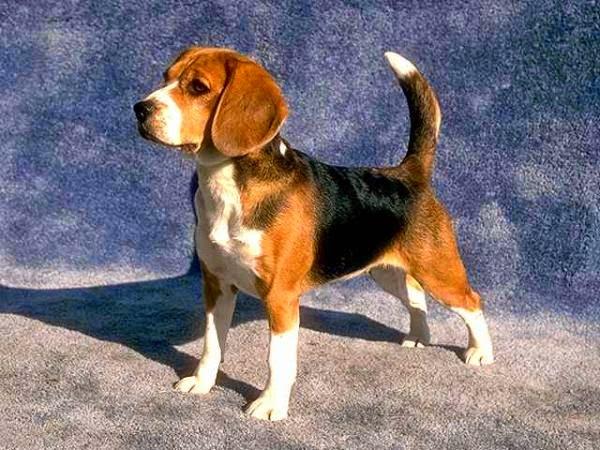 Beagle juga memiliki masalah kesehatan yang cukup bahaya.