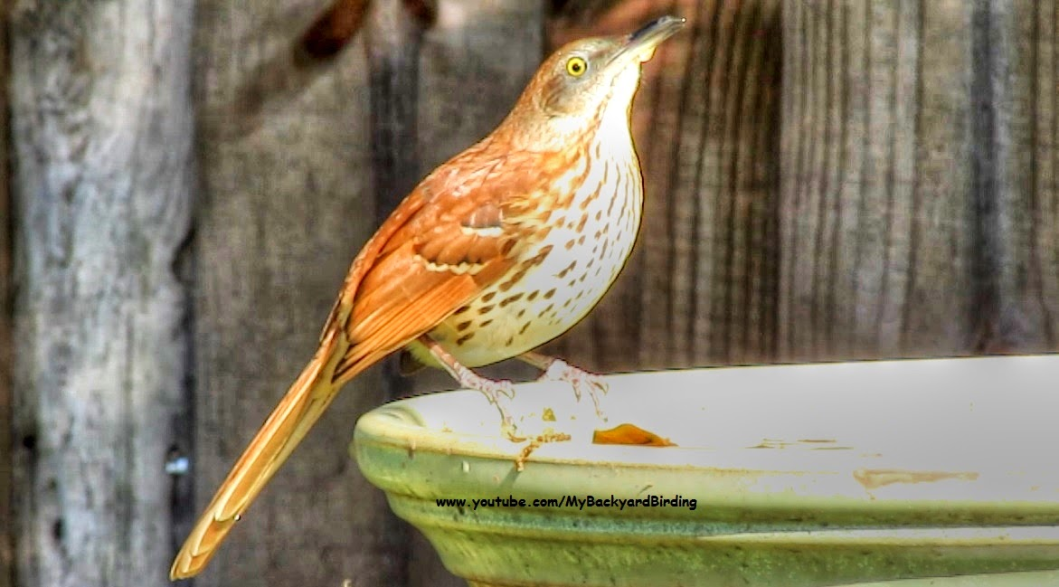Brown Thrasher in Florida