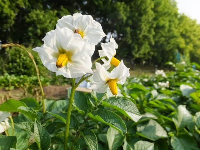 ジャガイモの花。