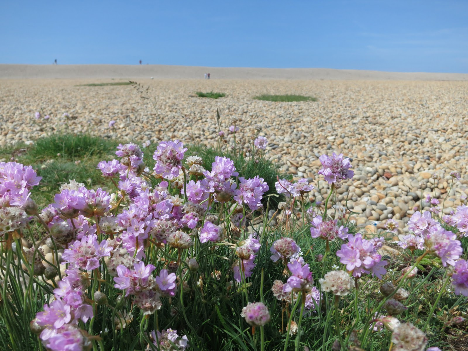 People walking up Chesil Beach from the Nature Centre. June 1st 2014.