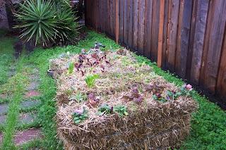 A simple Straw Bale Garden