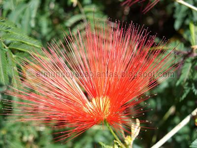 Flor de Plumerillo rojo