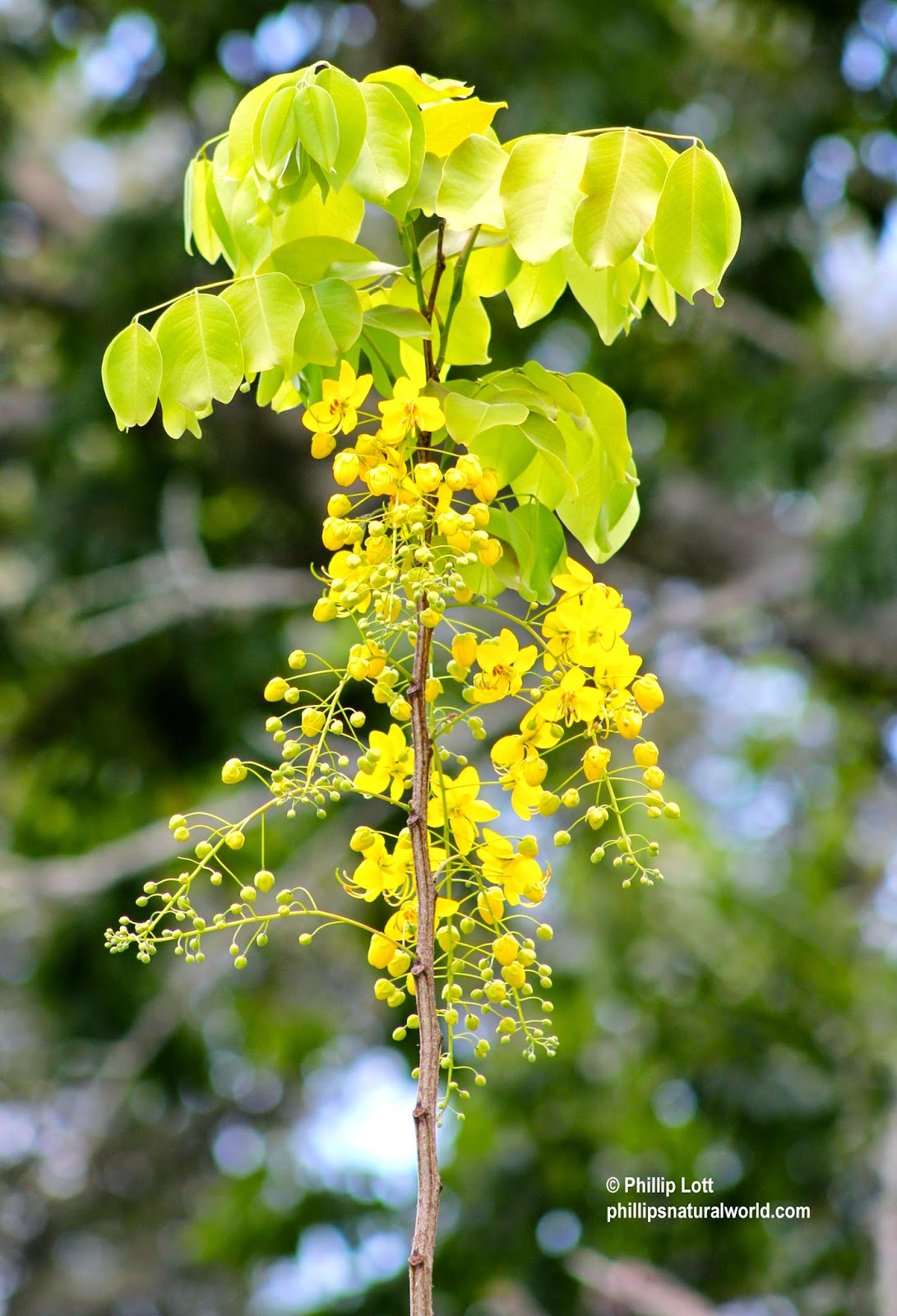 Golden shower tree phillips natural world it could be that this one received particularly less attention and rainfall than the others the literature indicates that this tree prefers extremely sunny izmirmasajfo Images
