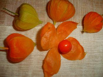 Fruits de Phisalis alkekengi...