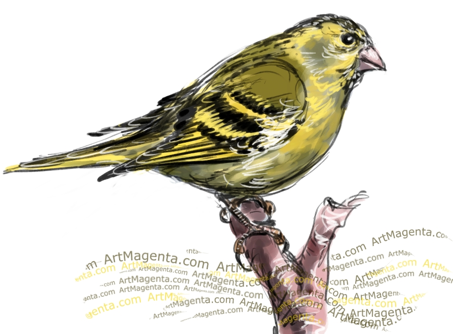 Siskin sketch painting. Bird art drawing by illustrator Artmagenta