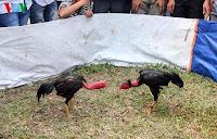 sabung ayam vietnam di acara festival
