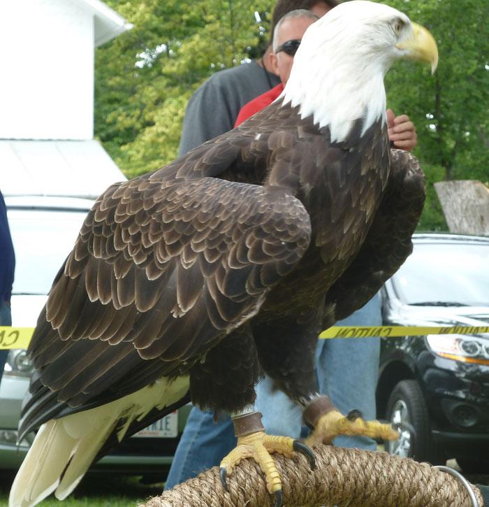 Image result for eagle biggest size