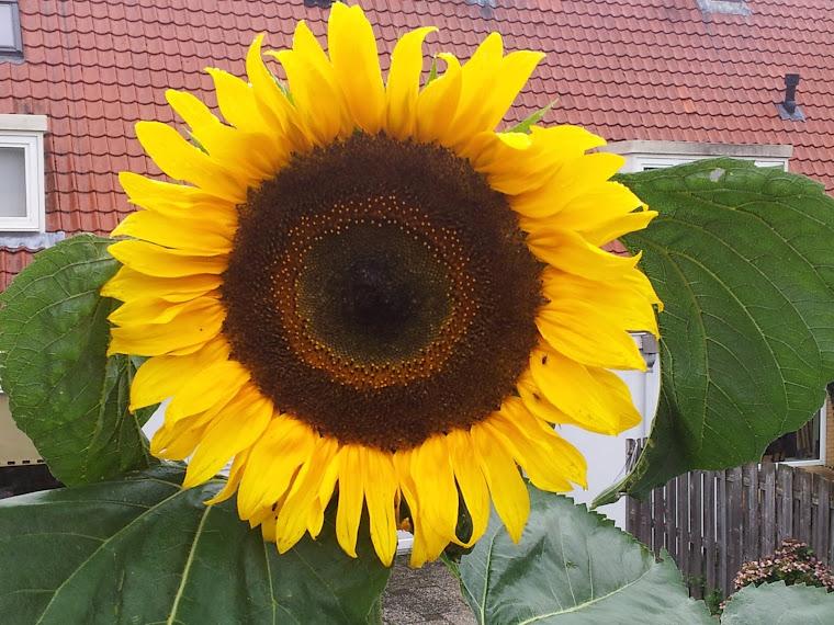 reuzen zonnebloem