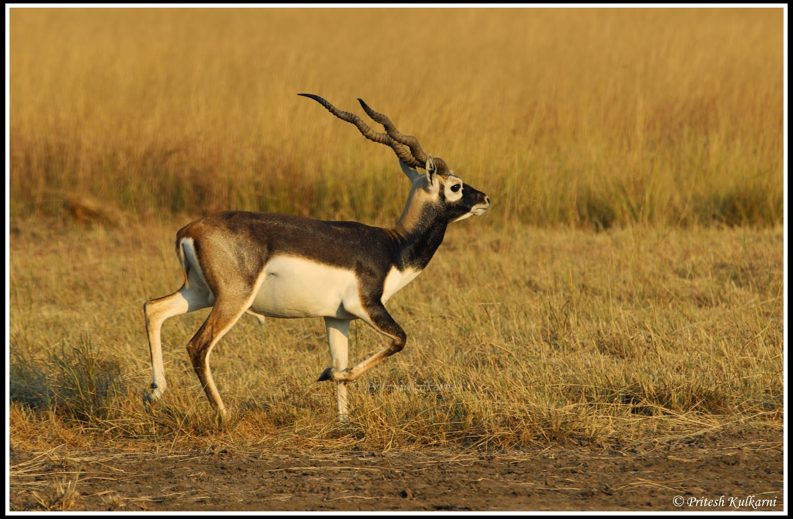 Morning Walk is good for health...Male Blackbuck