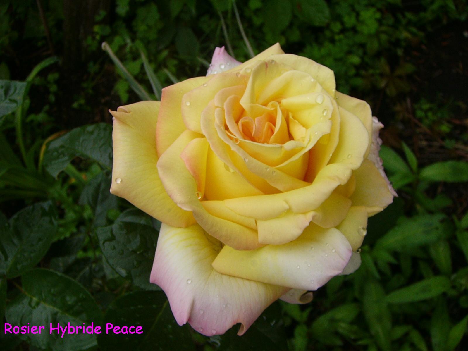 Le paradis floral de caroline rosier hybride peace - Rosier mange par des chenilles ...