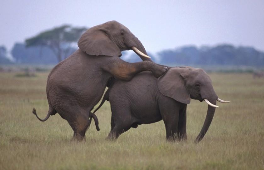 gambar gajah kawin