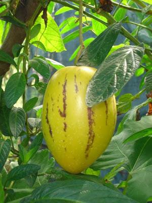 how to prepare pepino melon