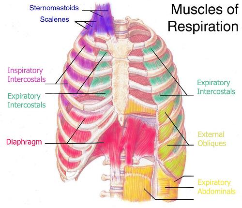 Cvs Ithoracic Walls And Diaphragm Group D