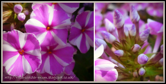 candy striped Phlox flowers