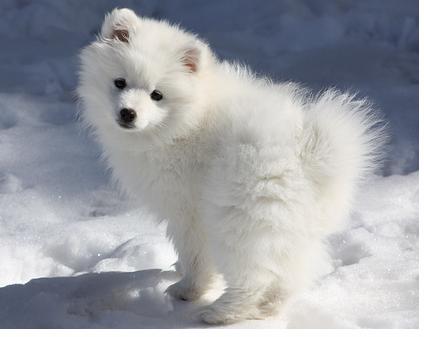 American Eskimo Dogs F...