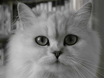 Персидська шиншила persian chinchilla