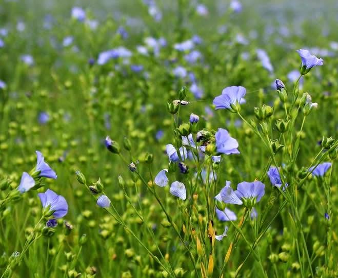 Flowering flax pants