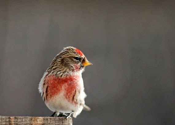 https://www.etsy.com/listing/182647947/common-redpoll-photography-adorable?ref=favs_view_1