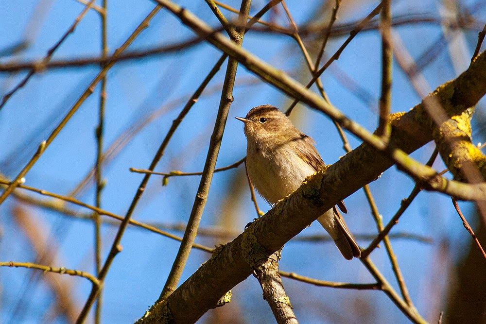 Chiffchaff - Lodge Lake, Milton Keynes