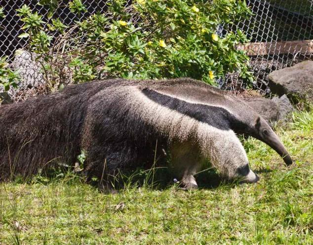 Tamanduá tem perna que parece cabeça de urso panda