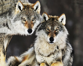 I cani fraternizzano con i lupi - Esopo