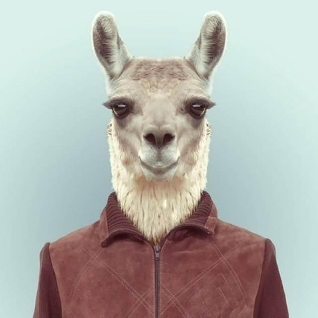llama-berpakaian-manusia