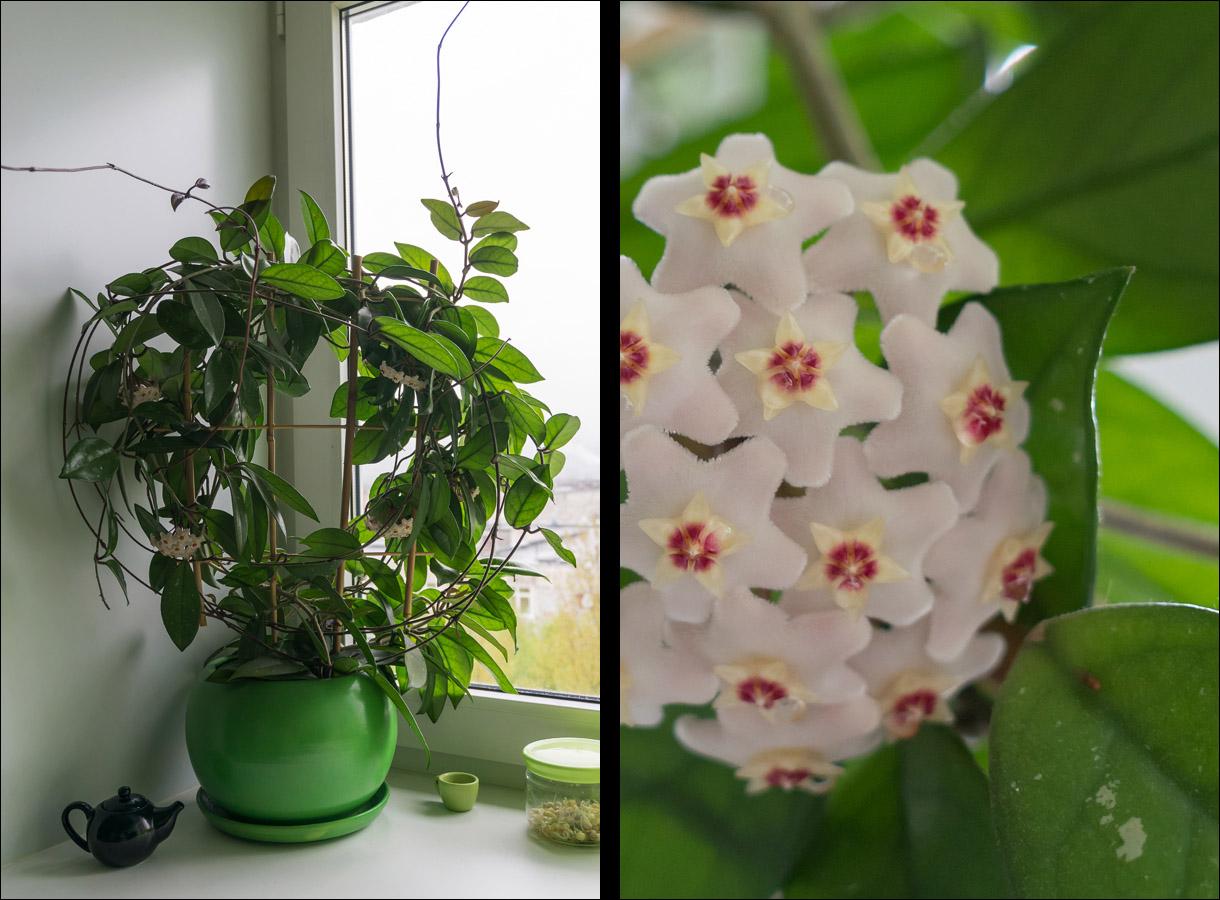 Комнатные цветы хойя фото названия и уход