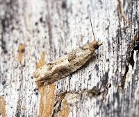 Latest New Micro Moth Species - Crocidosema plebejana