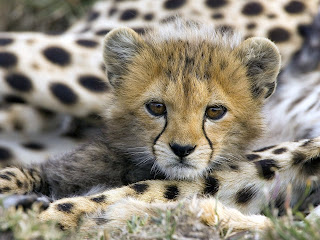 cute cheetah animal wallpaper