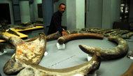 Fosil Gajah Usia 10 Ribu Tahun Ditemukan di Aceh