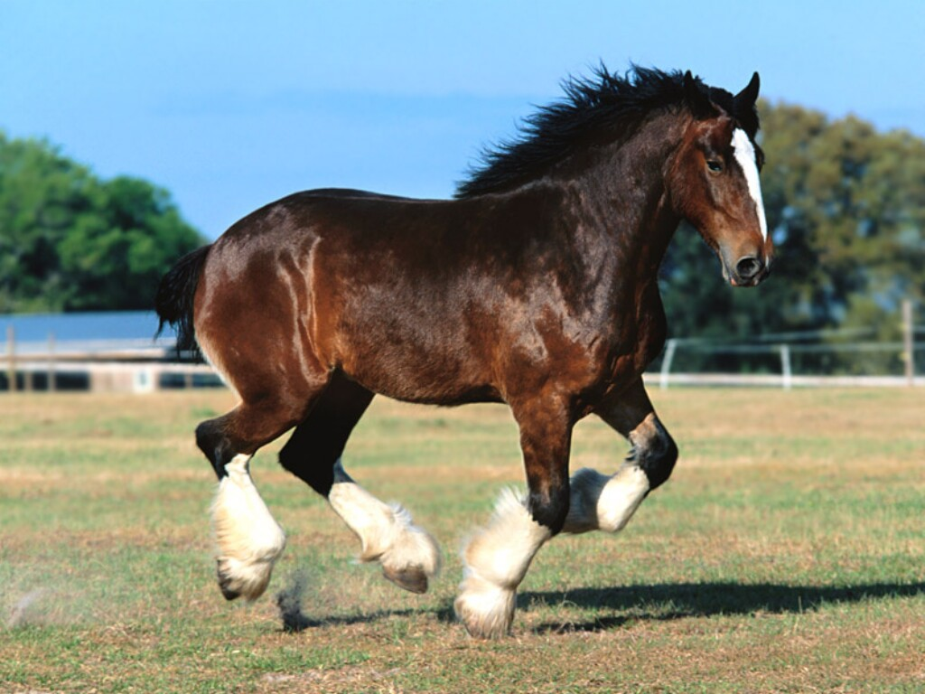 Horse Clydesdale Horses