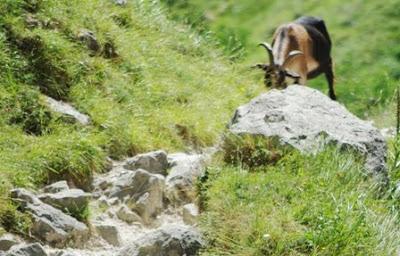 Asturias, cabra en el sendero a Bulnes