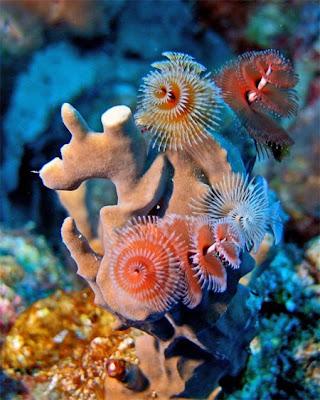 christmas tree worm 01 ΔΕΙΤΕ: Τα πιο παράξενα πλάσματα που έχουν βρεθεί στην θάλασσα!