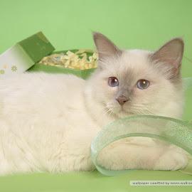 foto-foto kucing persia lucu @ Digaleri.com