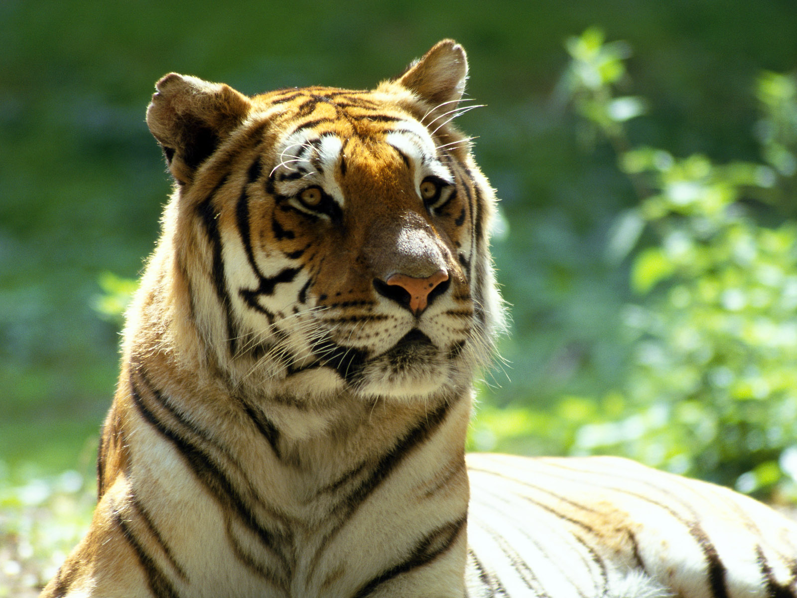 qq wallpapers tiger and - photo #25