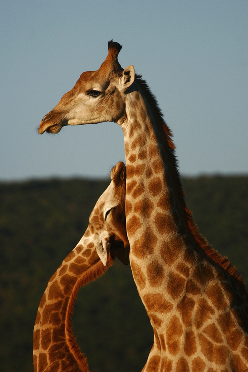 Giraffes In Love Giraffe baby love | Ph...