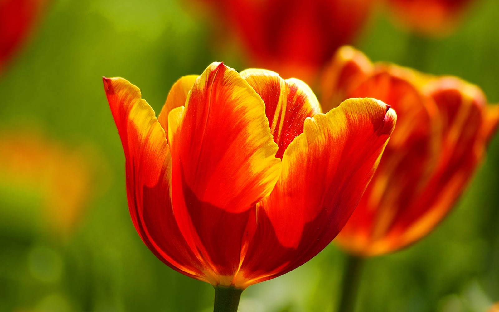 Red tulips desktop wallpapers amazing picture collection for Tulipani arancioni