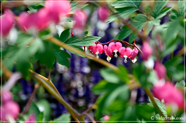 Pink Dicentra Spectabilis (Bleeding Hearts) Flowers in front of Purple Ajuga Reptans