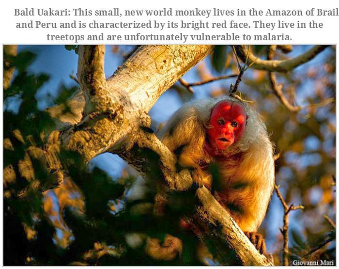 Weird animals (20 pics), strange animal pictures, bald uakari
