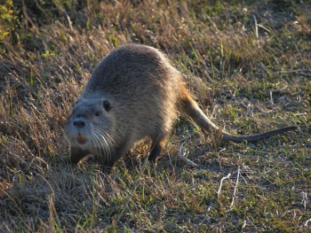 Life With haRVey: Nutria OR Rodents of Unusual Size