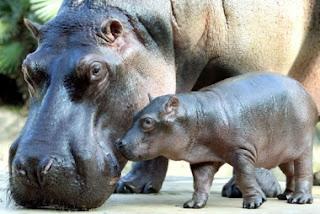Bebe hipopótamo con su madre