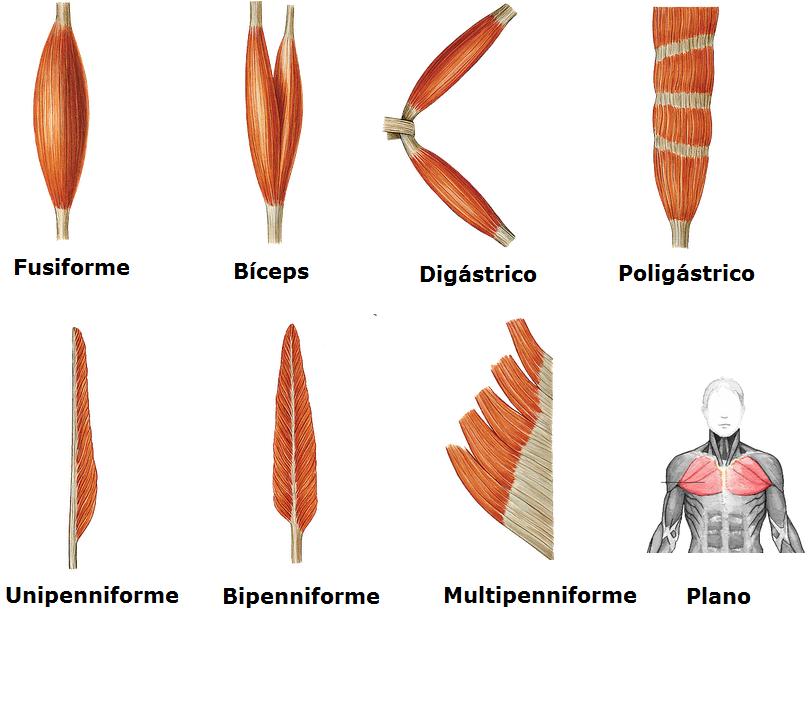 Fisioterapia: Sistema Muscular (Músculos) [Generalidades]