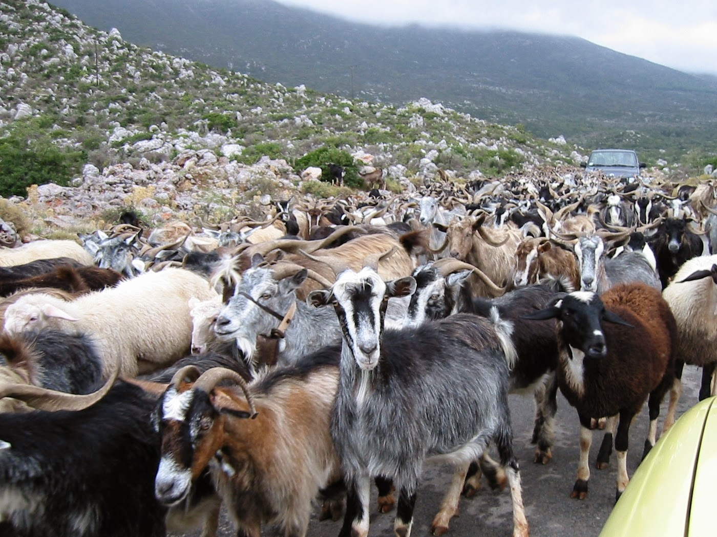 goat-02