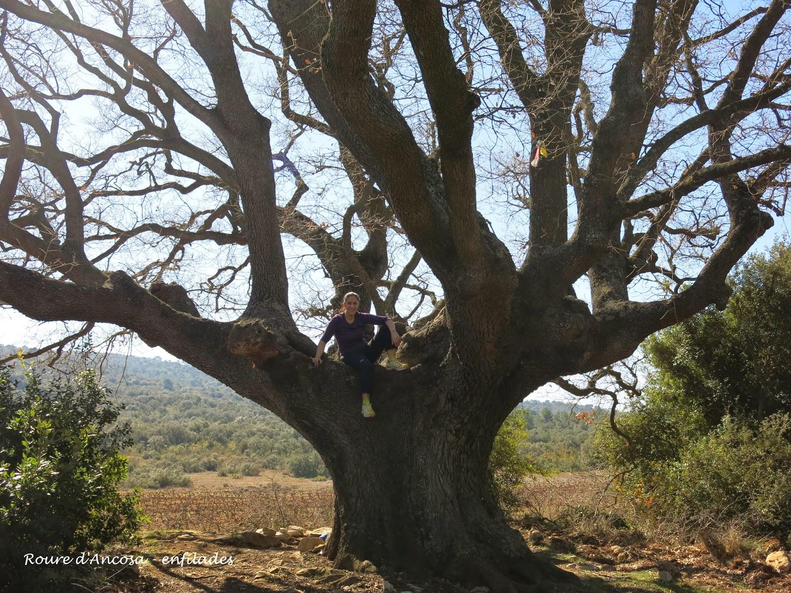 Roure d'Ancosa cap al Puig Castellar - 100 cims Enfilades