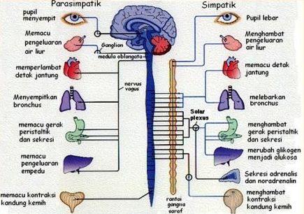 Pengertian dan Fungsi Sistem Saraf Simpatik dan Parasimpatik