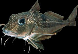 fisk med skägg
