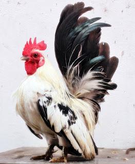 ternak ayam yang baik